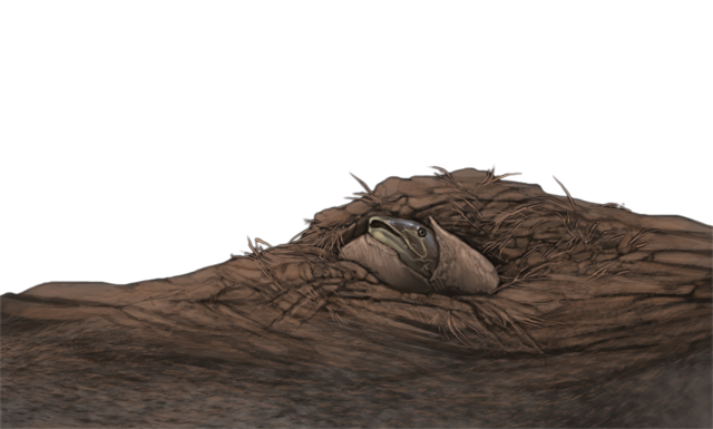 Within a mound of dried mud, a mudfish peeks out from its underground cocoon.
