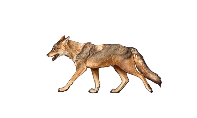 A golden jackal walks through the August heat, panting and exhausted.