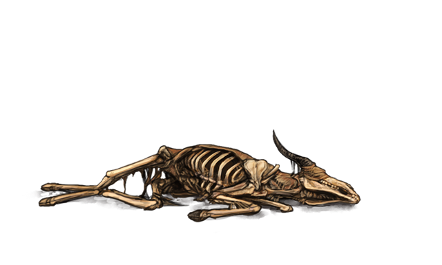 An antelope skeleton lies on the ground.  The flesh has completely decayed, leaving only bones.