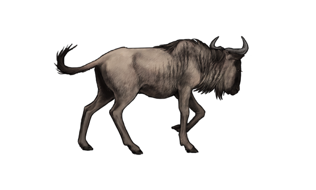 A thin, lone wildebeest has wandered from its herd.