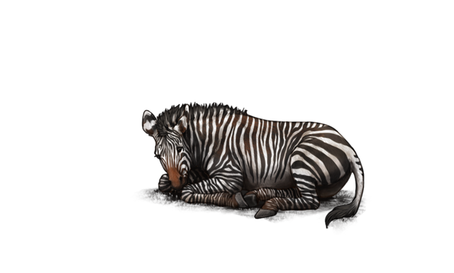 An exhausted, dehydrated zebra lies on the ground, defeated and waiting to die.