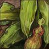 pitcherplant.png