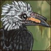 whitecrestedhornbill.png